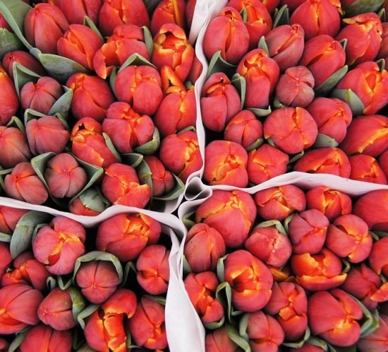 Where and when to see Tulips in Amsterdam